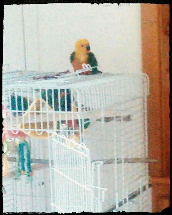 Meet Skittles, 2 month old Jenday conure!! Pretty bird!