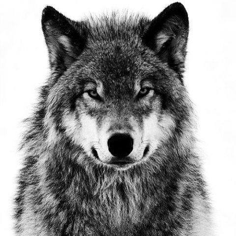 Black and White Wolf |...