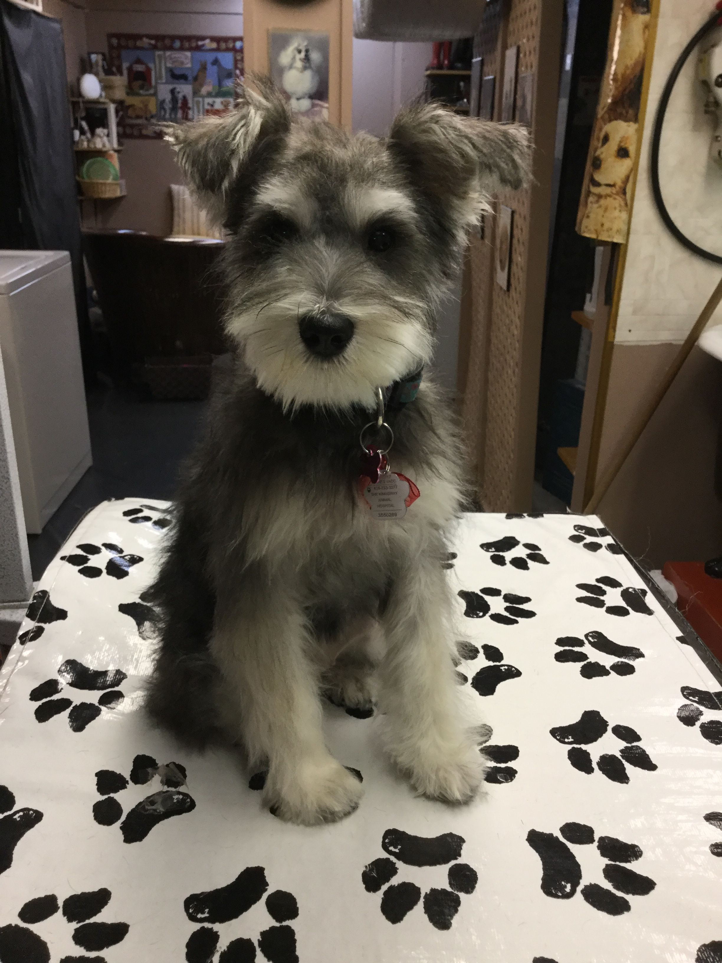 Pin On Schnauzers Schnoodles Oh My