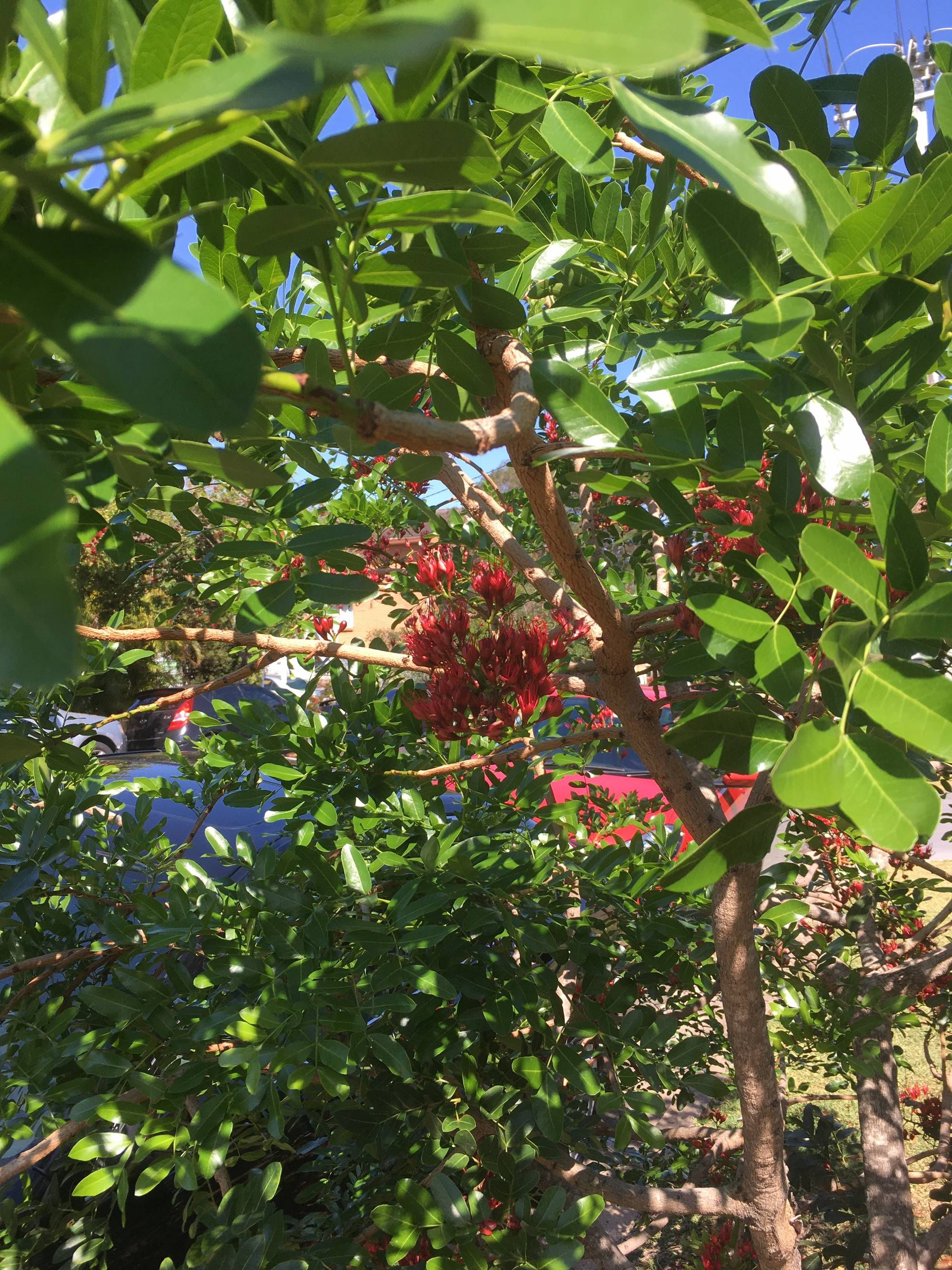 What Tree Is This Rosellas Loving It In Queensland Gardening