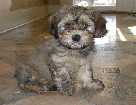 Havanese Puppies Dog breed site this pup looks like my Milo