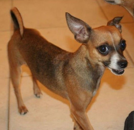Adopt Sheeshe On Animal Rescue Chihuahua Dogs Pets
