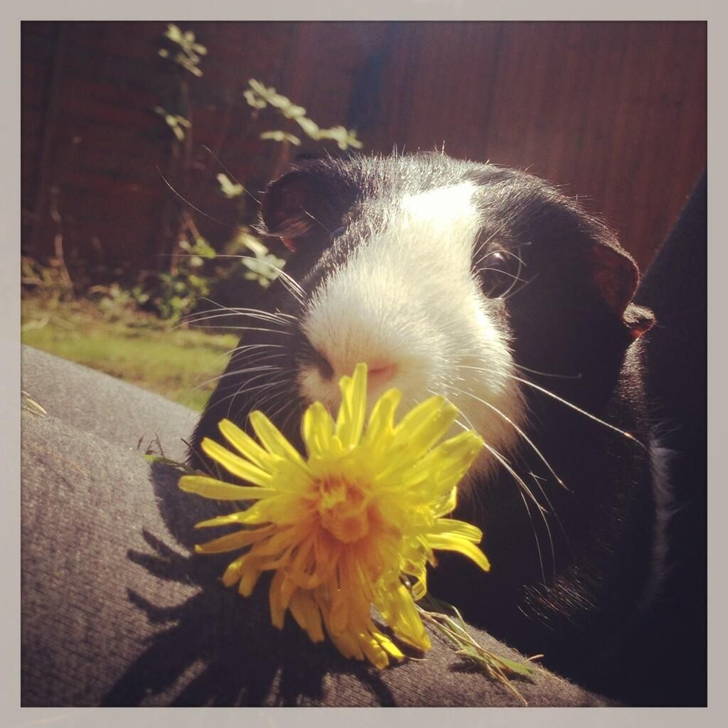 Too cute for words! It's not just us who loves flowers...@ _foxyloxy_'s guinea pig has a curious sniff at this sunshine yellow dandelion for our #LizEarleSpring photo competition.
