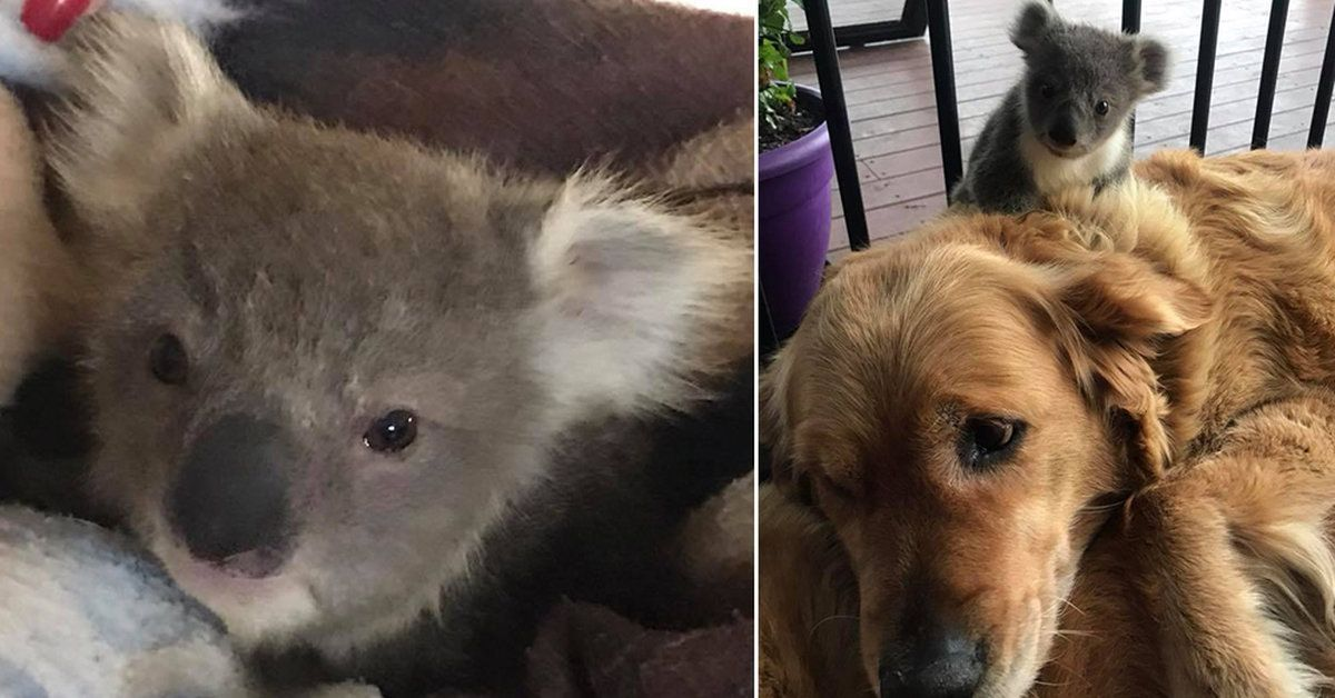 Golden Retriever Comes Home With Baby Koala Clinging To Its Fur To