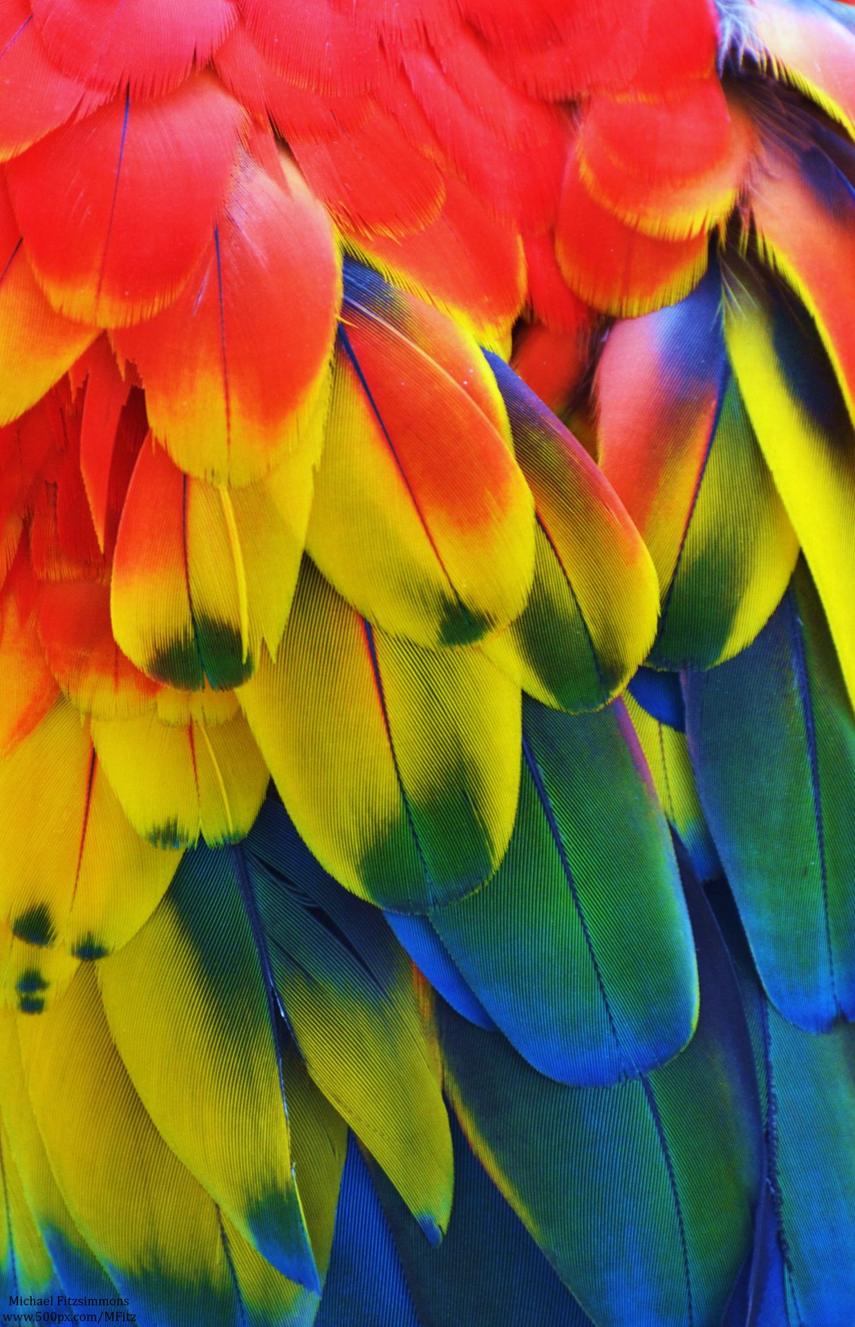 Macaw - Primary Colors by Michael Fitzsimmons | Brilliant ...