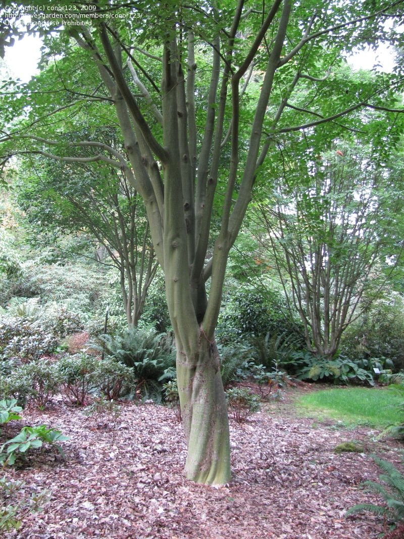 Acer Davidii Snakebark Maple That Wont Grow Here But I Wish