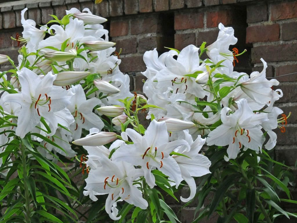 What Is The Difference Between Asiatic And Oriental Lilies