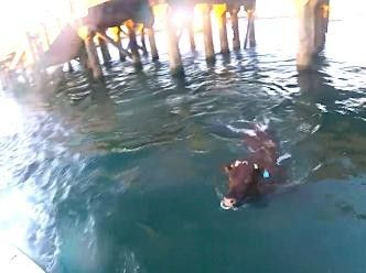 Cow Headed For Slaughter Jumps Ship And Swims Away - http://ecoweare.mywikaniko.com/2016/11/cow-headed-for-slaughter-jumps-ship-and-swims-away/