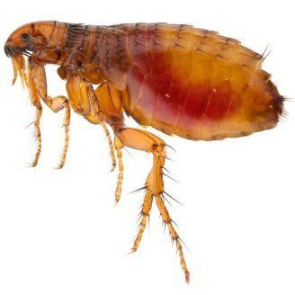 Getting Rid Of Fleas Flea Remedies Fleas Flea Control