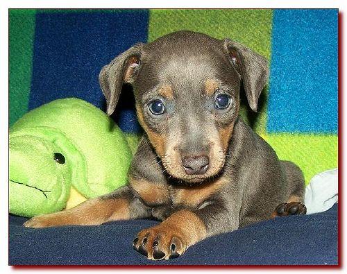 Toy King Blue Female Miniature Pinscher Puppy Breeder 15