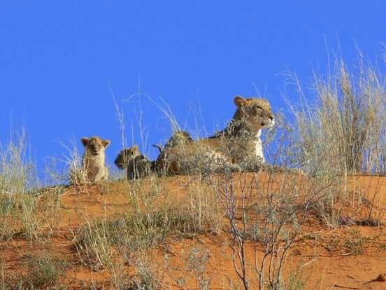 Löwin mit Jungen in der Kalahari