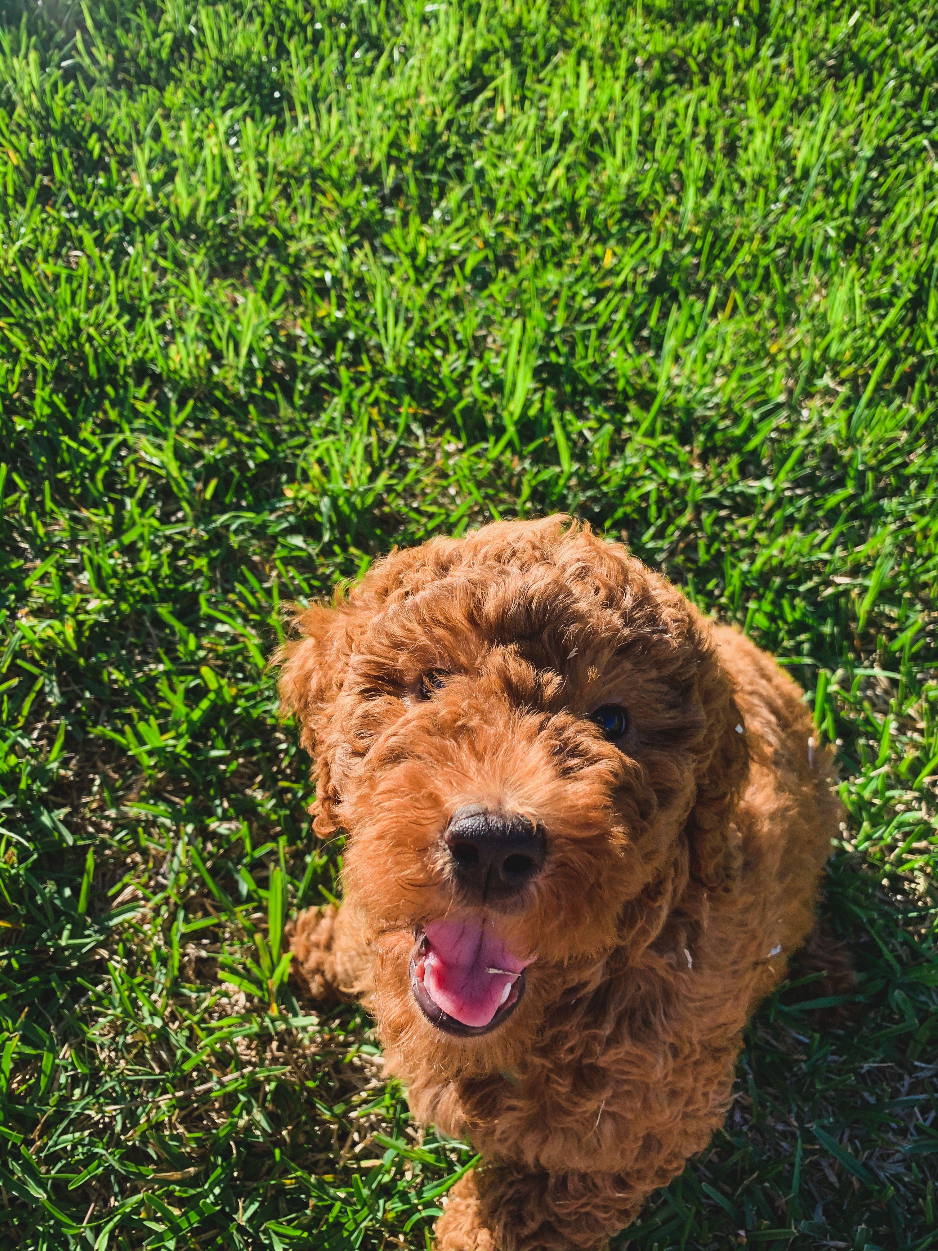 Oregon live puppies goldendoodle