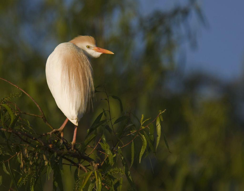 cattle egret - bubulcus ibis | Flickr - Photo Sharing!