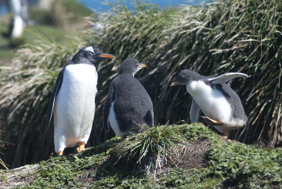 New Zealand Sub Antarctic Islands(5) – Macquarie Island – Part 1 - PenguinSpirit