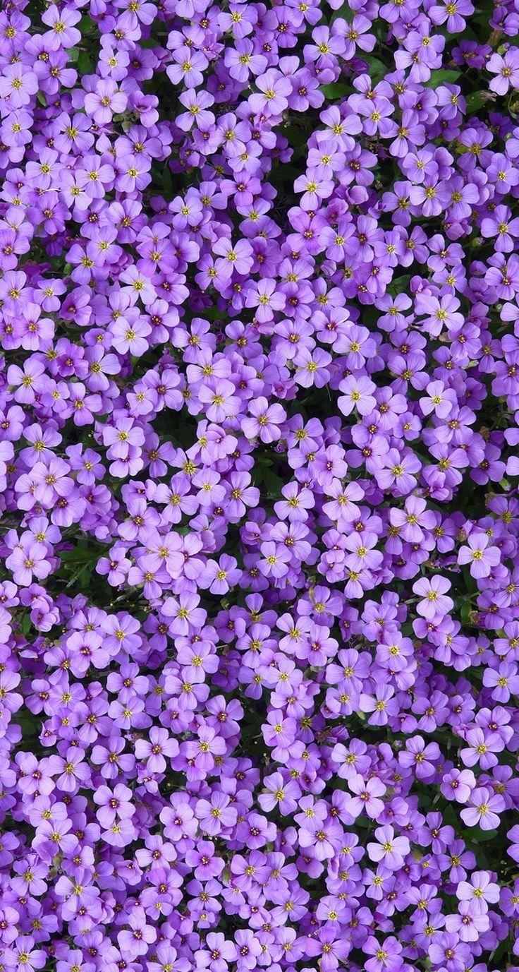 Purple rock cress (Arabis #Arabis #background #cress #purple #rock #Garden #Gardenİdeas #Gardendesign