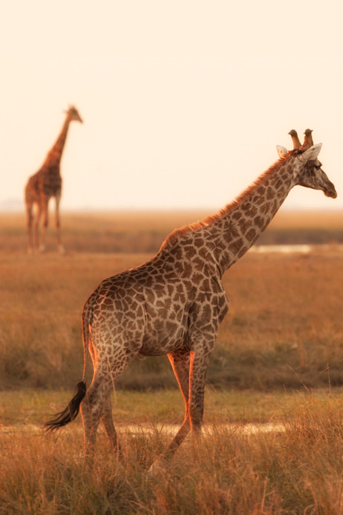 Giraffe♡   - Explore the World with Travel Nerd Nici, one Country at a Time. http://TravelNerdNici.com