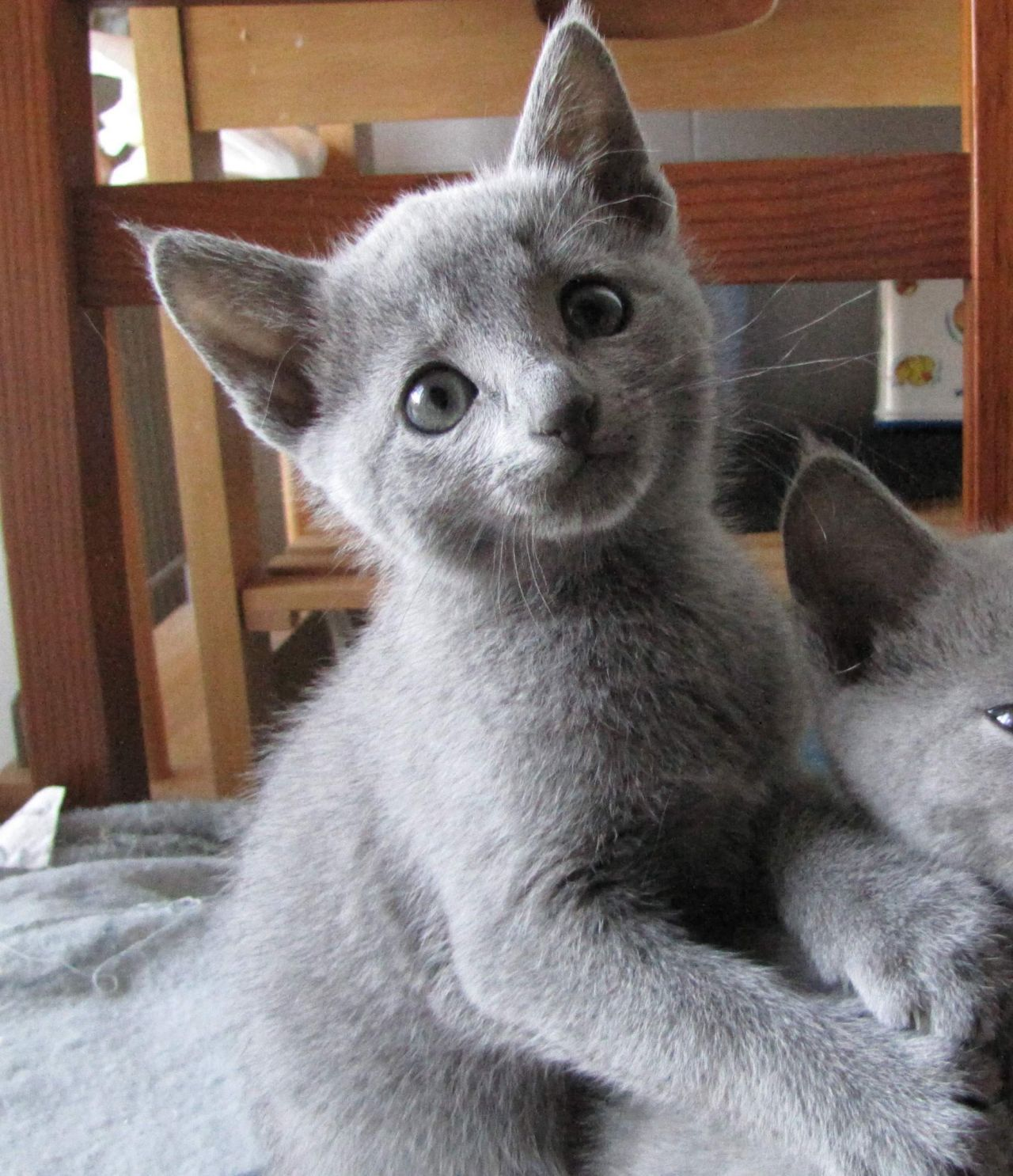 The Russian Blue Cat Is A Cat Breed That Comes In Colors Varying From A Light Shimmering Silver To A Darker Slate G Russian Blue Kitten Russian Blue Blue Cats