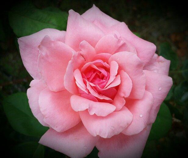 A photo of a rose I took