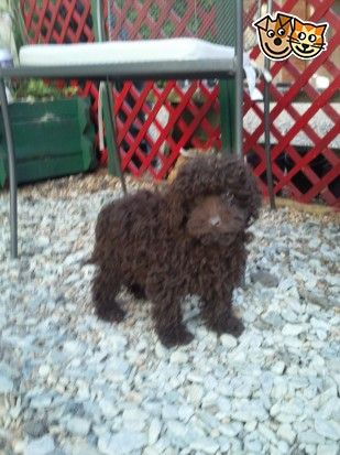 Stunning Miniature Poodle Puppies Tonbridge Kent Pets4homes