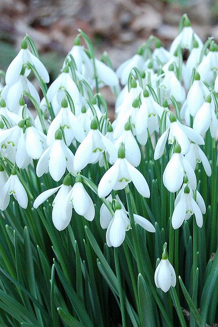 Gorgeous snowdrops my favourite early spring flowers makesmehappy an entry from powered by tumblr white stuff ukearly spring flowersgarden mightylinksfo