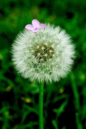 Pin By Janette Howell On I M In The Army Now Dandelion Flowers Beautiful Flowers