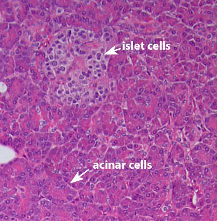 Pancreas Histology Acinar Cells