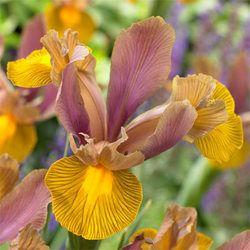 Iris Lion King Dutch Iris J Parker Dutch Bulbs Dutch Iris Iris Flowers Iris