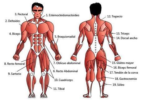 Los músculos del cuerpo humano | Músculos del cuerpo humano, Los ...