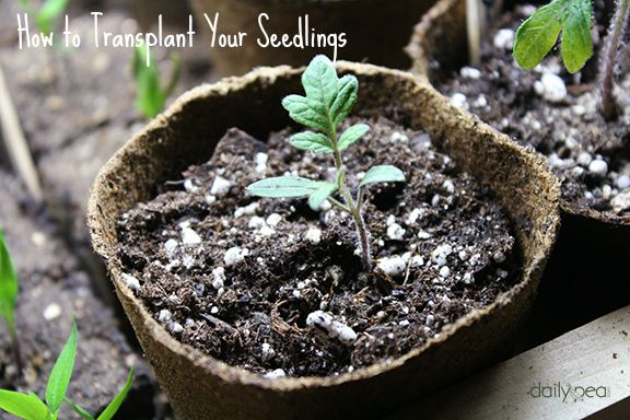 Starting Seeds Indoors: How to Transplant Your Seedlings