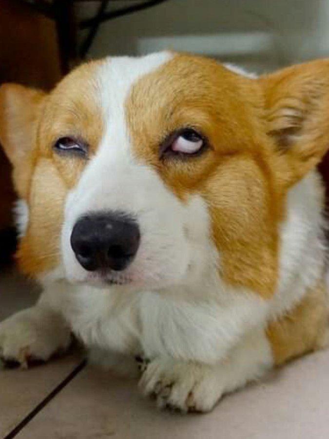 This Is My Face Listening To Trump S Paranoid Insanity Tantrum Today Corgi Memes Corgi Tattoo Corgi Funny