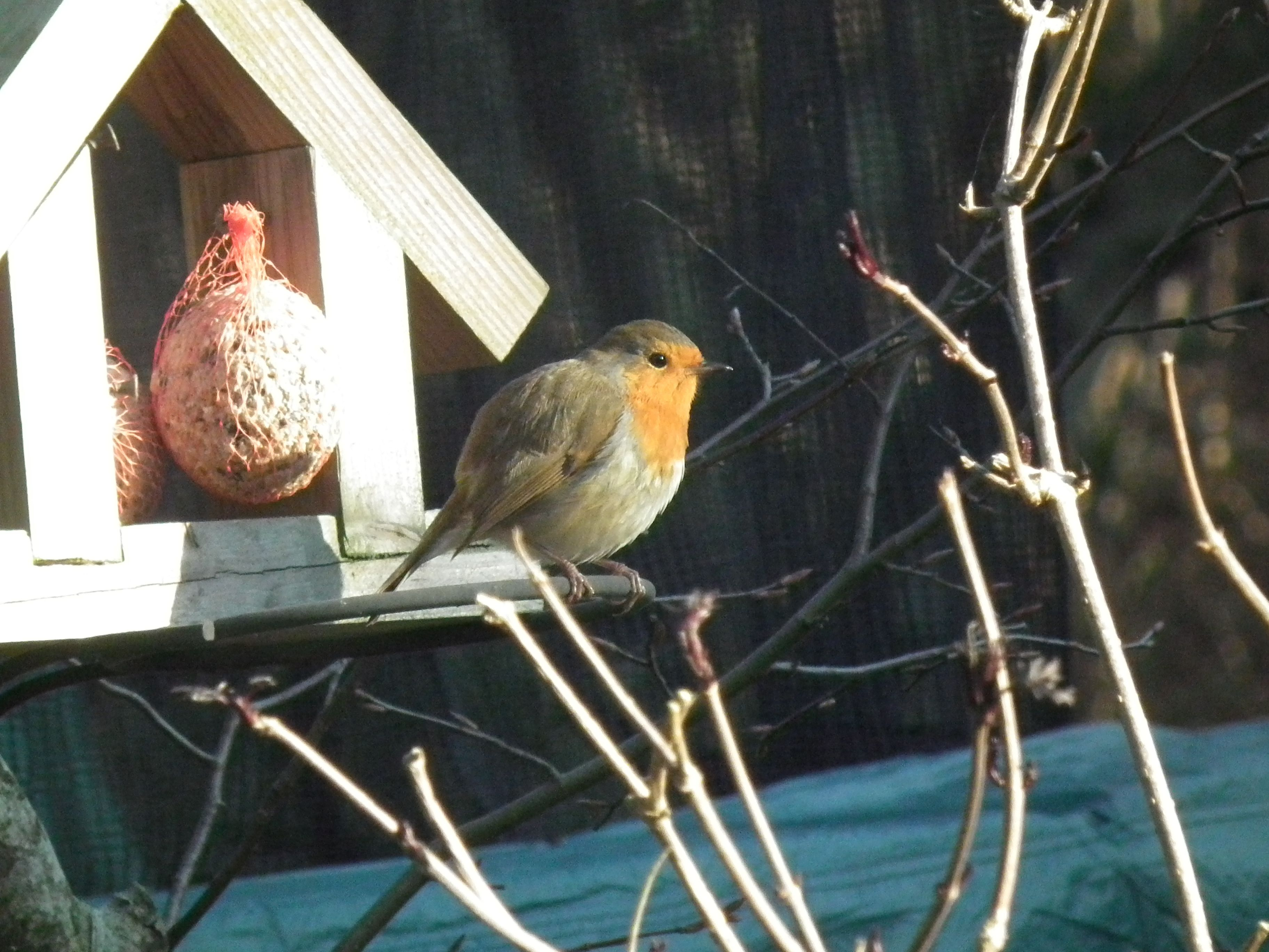 Our resident robin