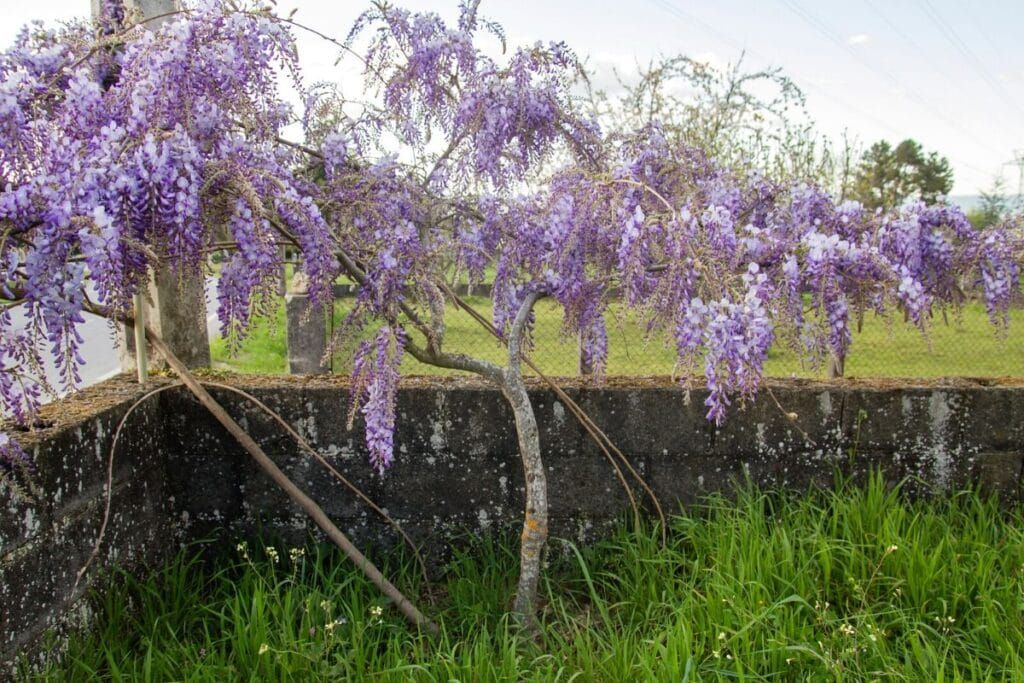 Incredible Meaning And Symbolism Of Wisteria Flower And Color Florgeous In 2020 Wisteria Plant Planting Flowers Wisteria