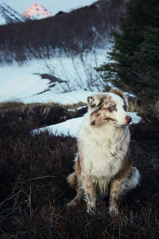 aussie sheppard exploring and hiking