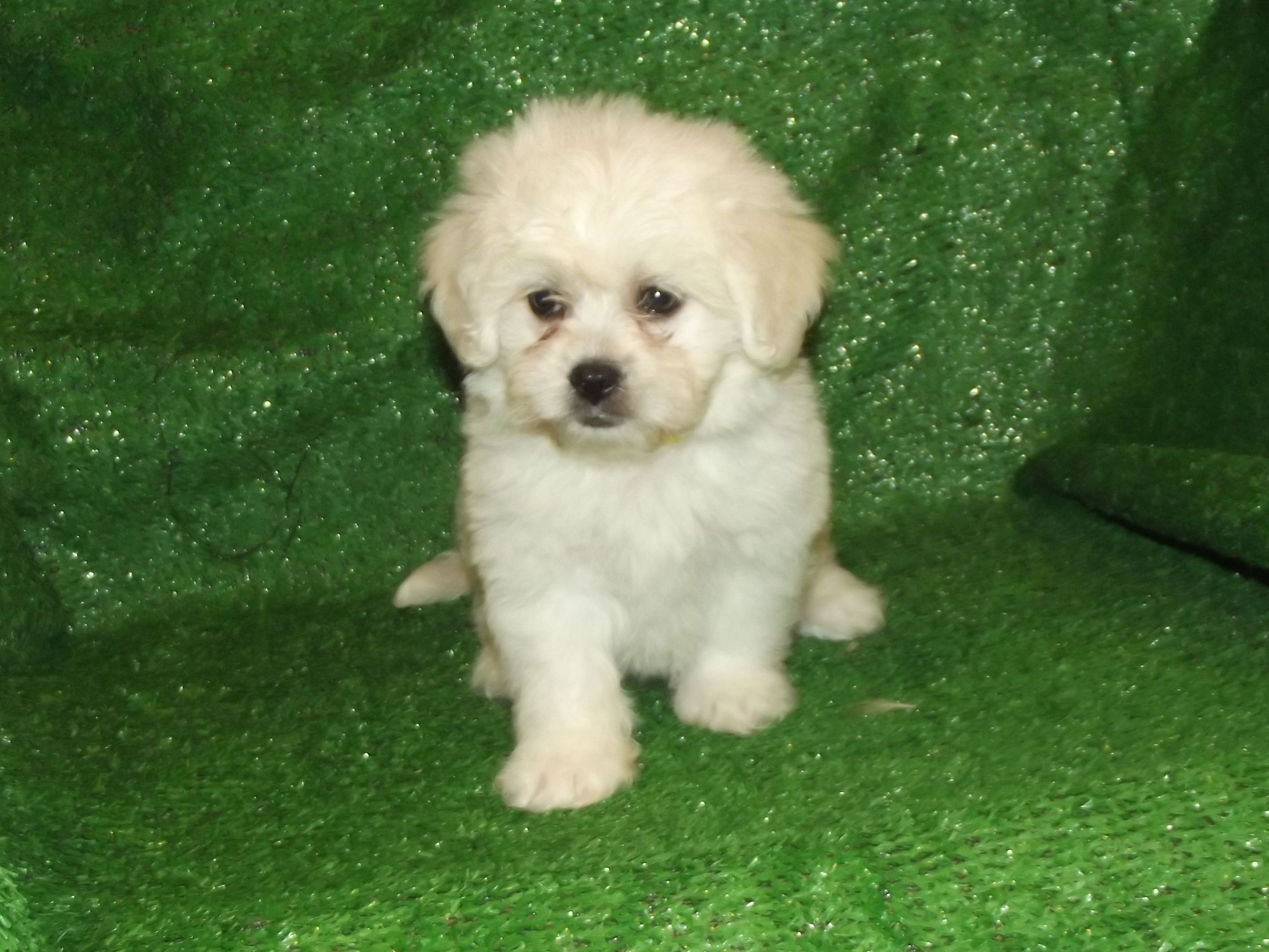 Pekechon Pekingese X Bichon Frise This Adorable Little Puppy Has A Big Personality With A Small Frame They Are Minimal Puppies Little Puppies Bichon Frise