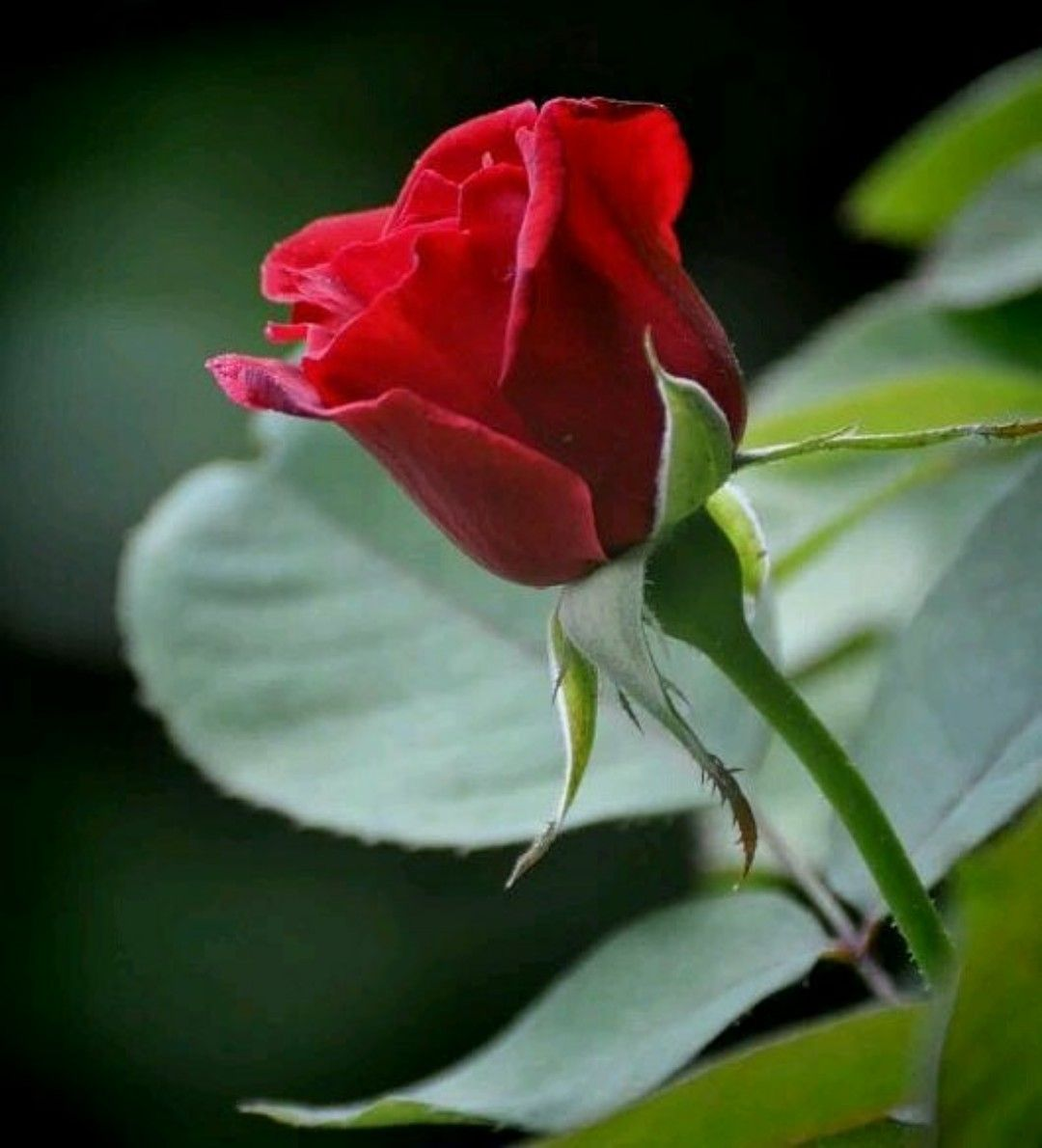 Pin by Mousumi Ghosh on Flowers | Pinterest | Single red rose, Red ...