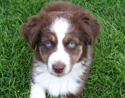 Hoobly Red Merle Mini Aussie 2 Blue Eyes Australian Shepherds