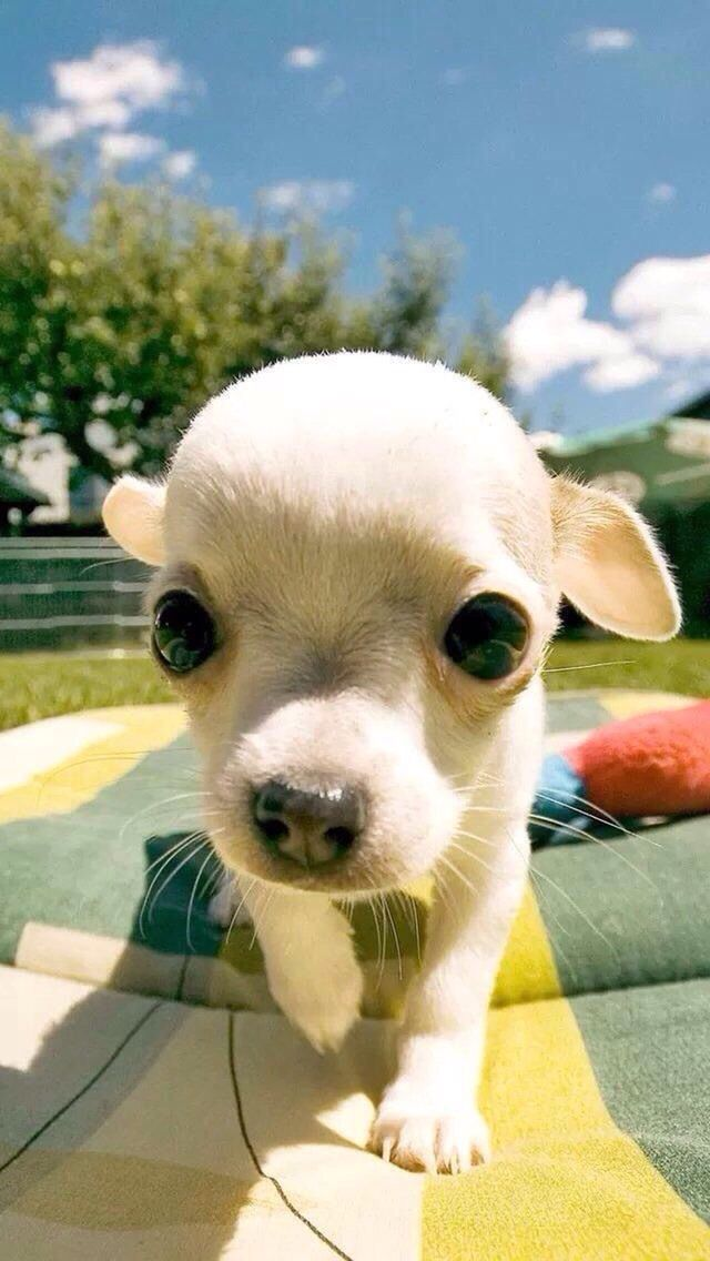 Pin By Cherise Valentino On Sweet Faces Chihuahua Puppies Baby