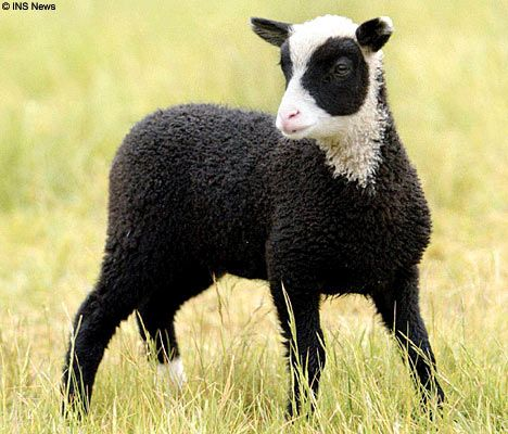 The Lamb Dressed In Panda S Clothing Funny Animal Photos Cute Animals Animals