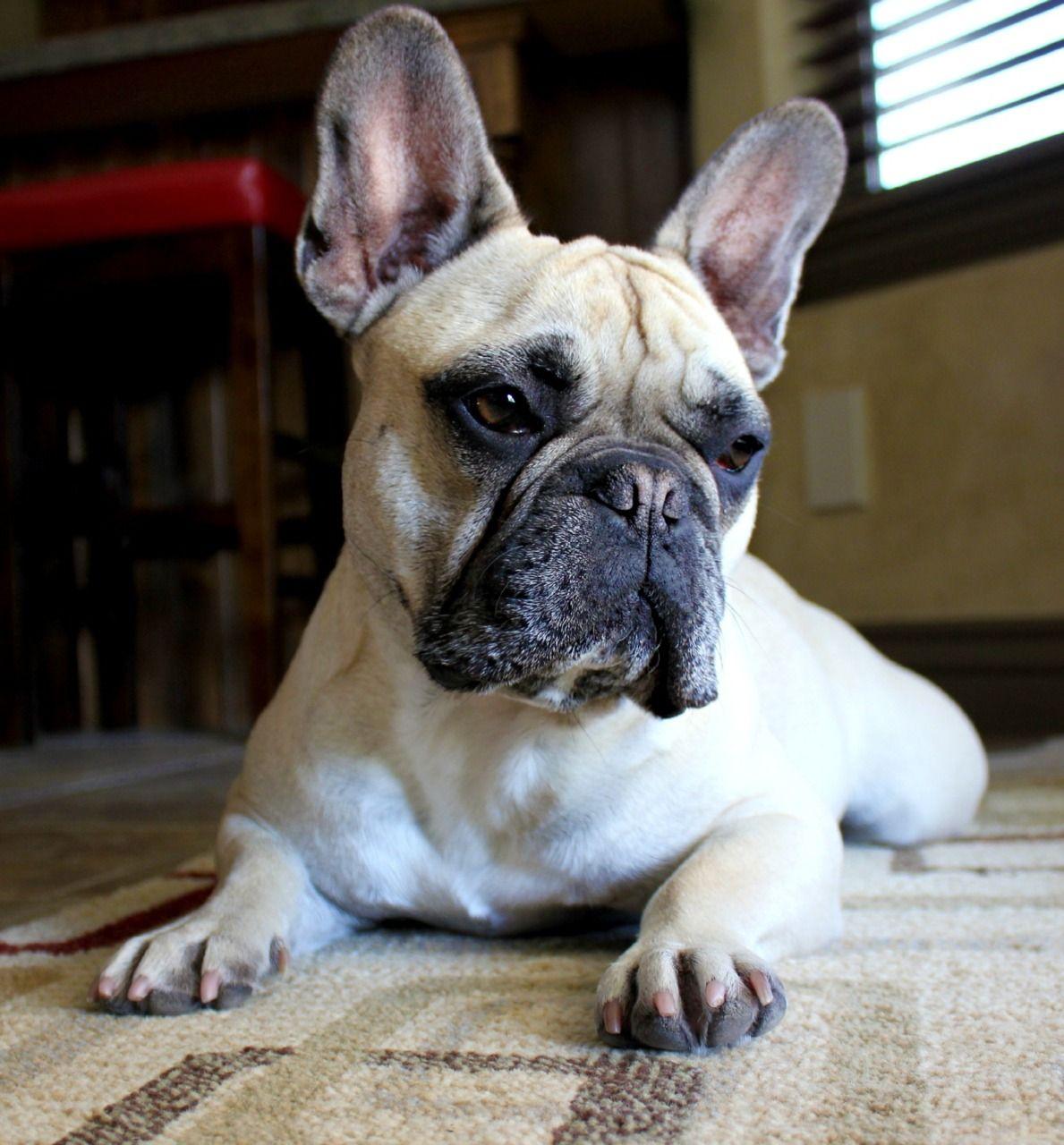 frenchbulldog French bulldog, Bulldog, French bulldog