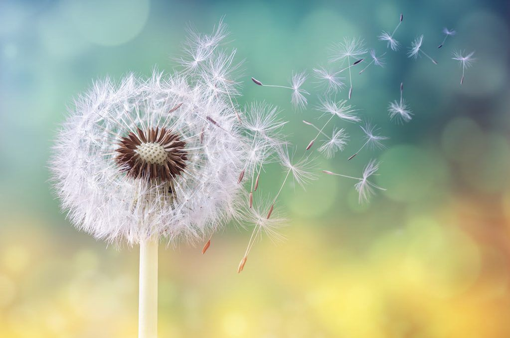 Do You Suffer With Cat Allergies These 8 Tips Will Help Cat Lovers Dandelion Seed Dandelion Clock Dandelion