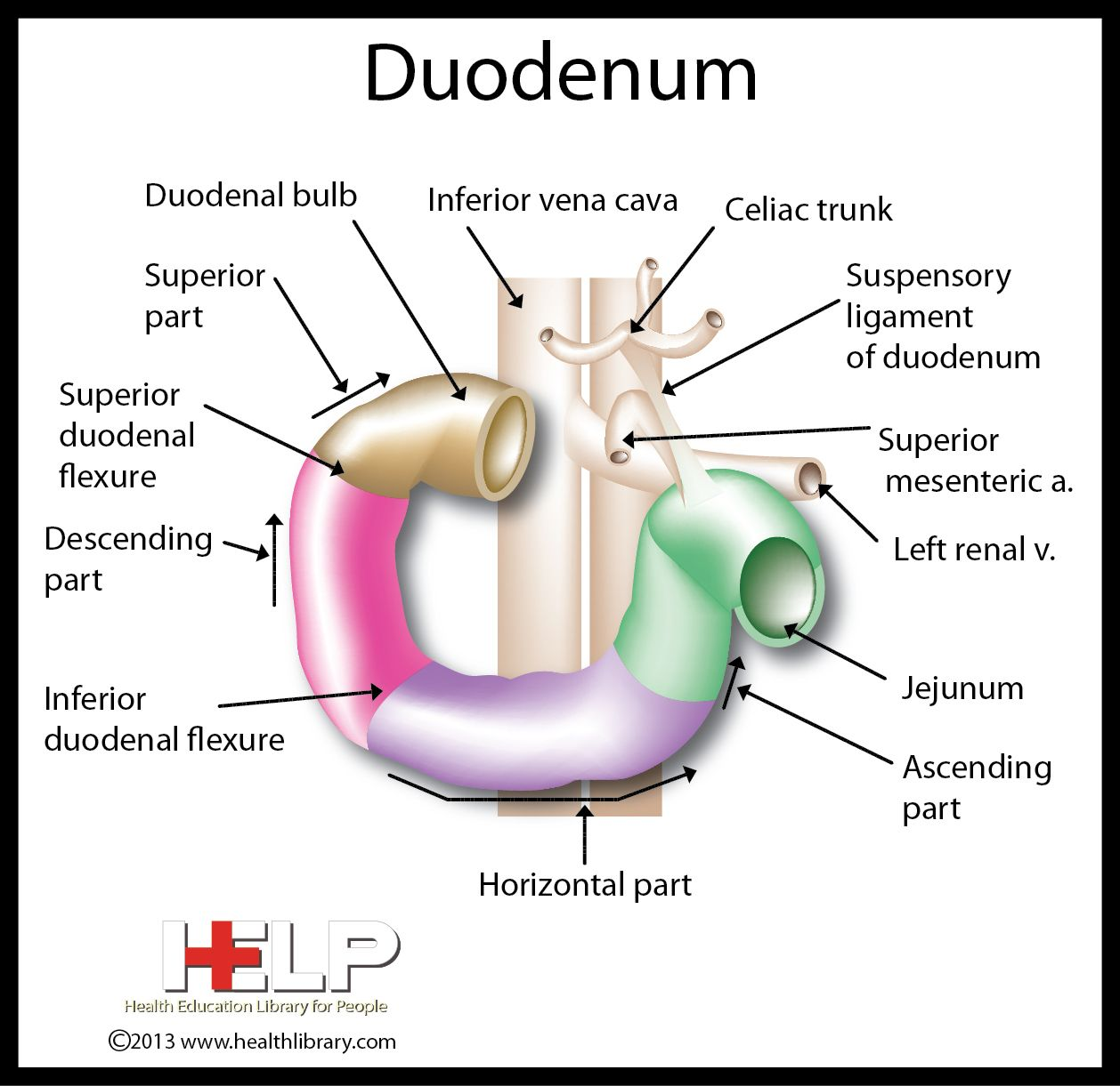 Duodenum Medical Mnemonics Digestive System Anatomy Medical Careers