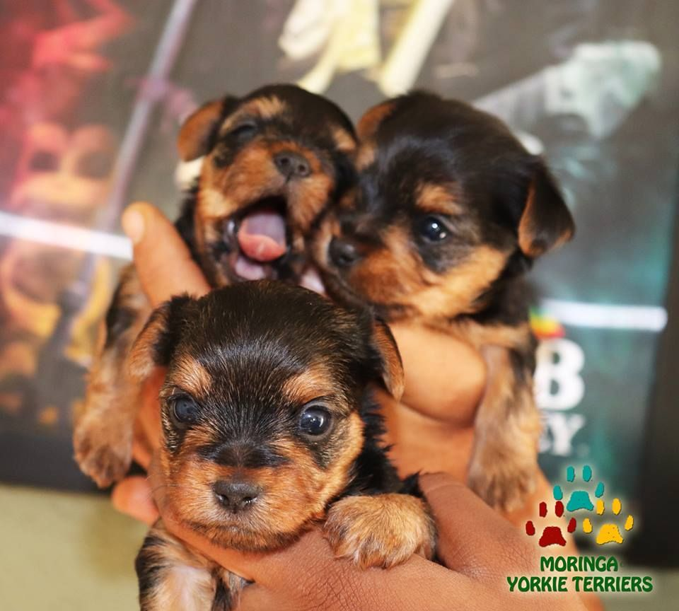Yorkie Puppies For Sale Quality Teacup Toy Puppies Yorkies For