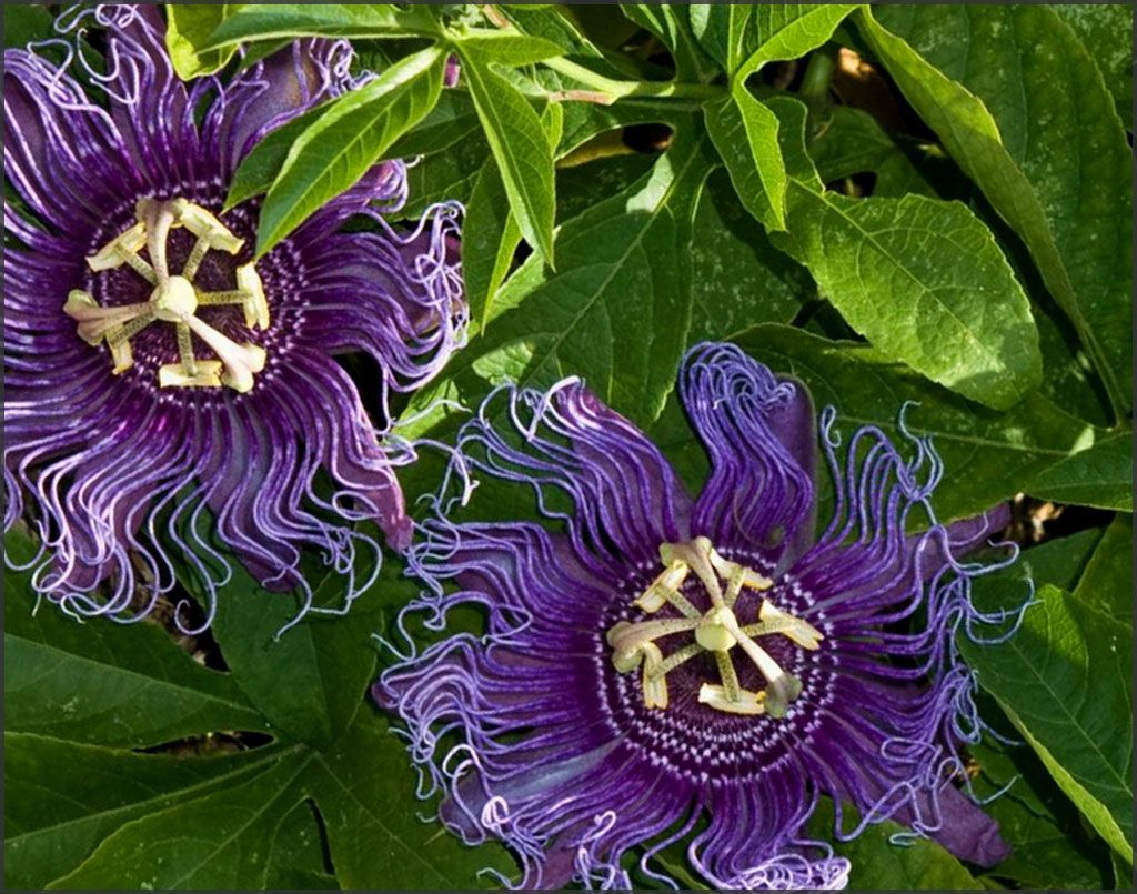 Purple Passion Flowers My Dreams Pinterest Grow Bulbs