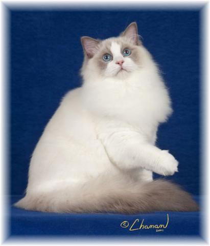 Ragdoll Cats Ragdoll Kittens By Kissykat Ragdoll Cat Breeder