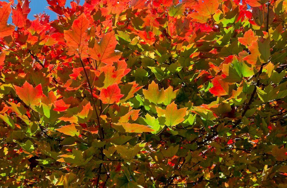 IlPost - Le foglie di una albero a Washington DC, negli Stati Uniti, 19 novembre 2013. (KAREN BLEIER/AFP/Getty Images) - Le foglie di una albero a Washington DC, negli Stati Uniti, 19 novembre 2013. (KAREN BLEIER/AFP/Getty Images)