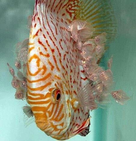 Find more beautiful discus on -  Livingreefaquariums.com.au