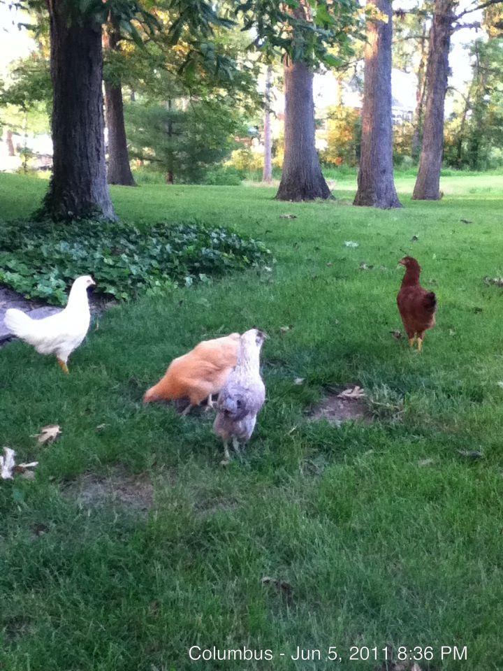 Pontuf, poulet, et ?