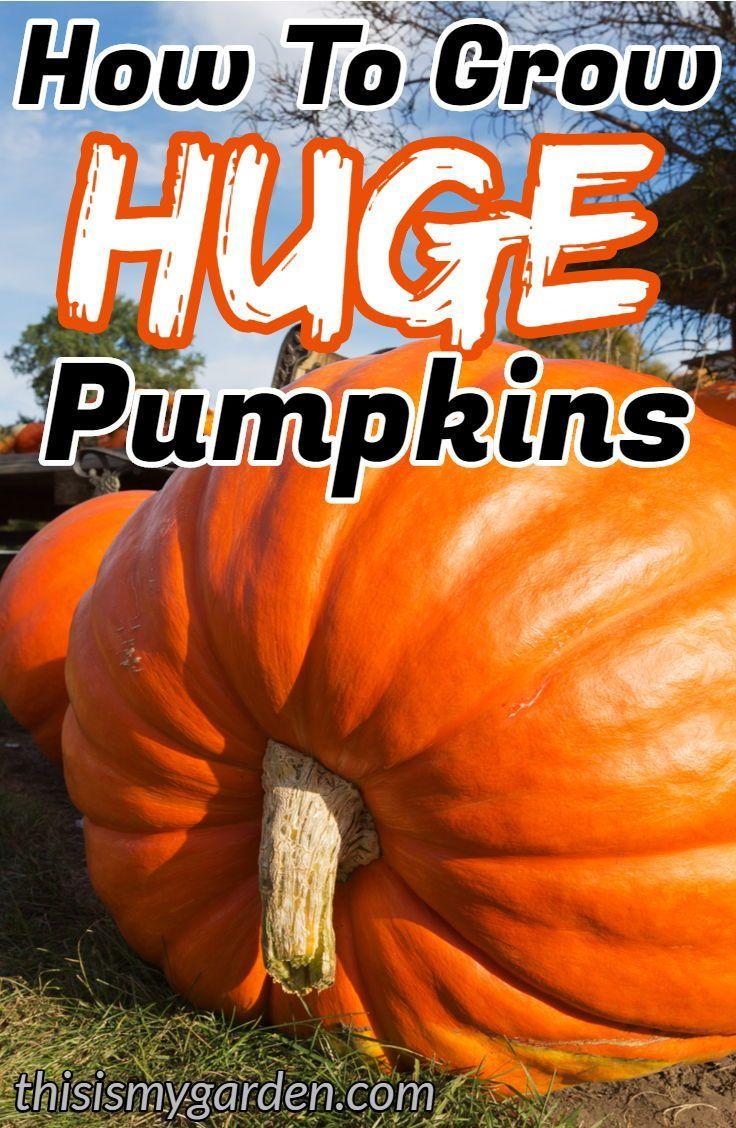 Find out how to grow AWARD WINNING huge pumpkins! #pumpkin #patch #fertilize #awardwinning #blueribbon #garden #squash #thisismygarden #pumpkinpatch