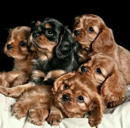 Royal Portrait Ruby And A Black And Tan Cavalier Pups 3 King Charles Cavalier Spaniel Puppy King Spaniel King Charles Dog