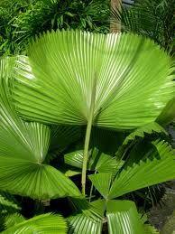 Ruffled Fan Palm Palm Tree Art Australian Native Plants Trees